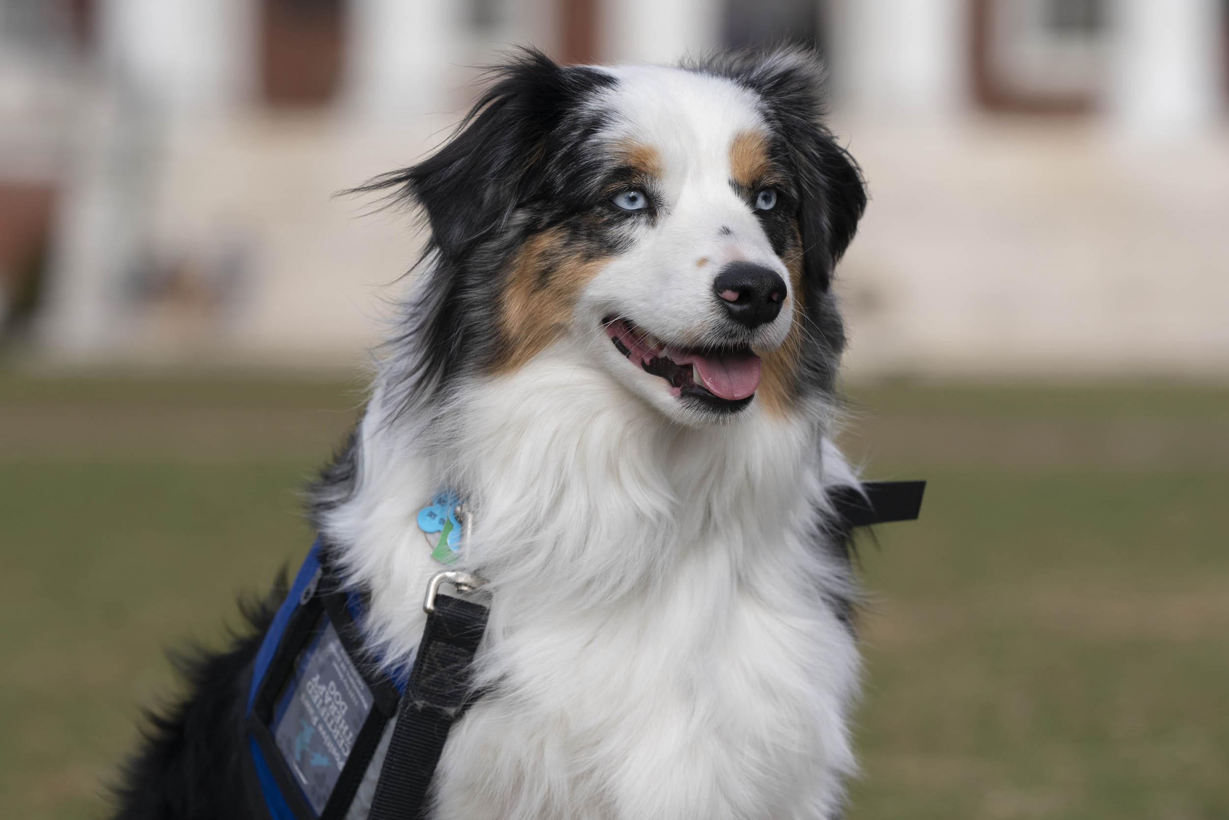 Cooper is a one-and-a-half year old miniature American shepherd.
