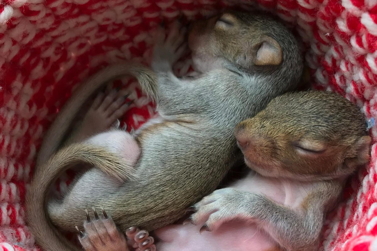 Baby squirrels are one of many kinds of animals brought into the Rockfish Wildlife Sanctuary.