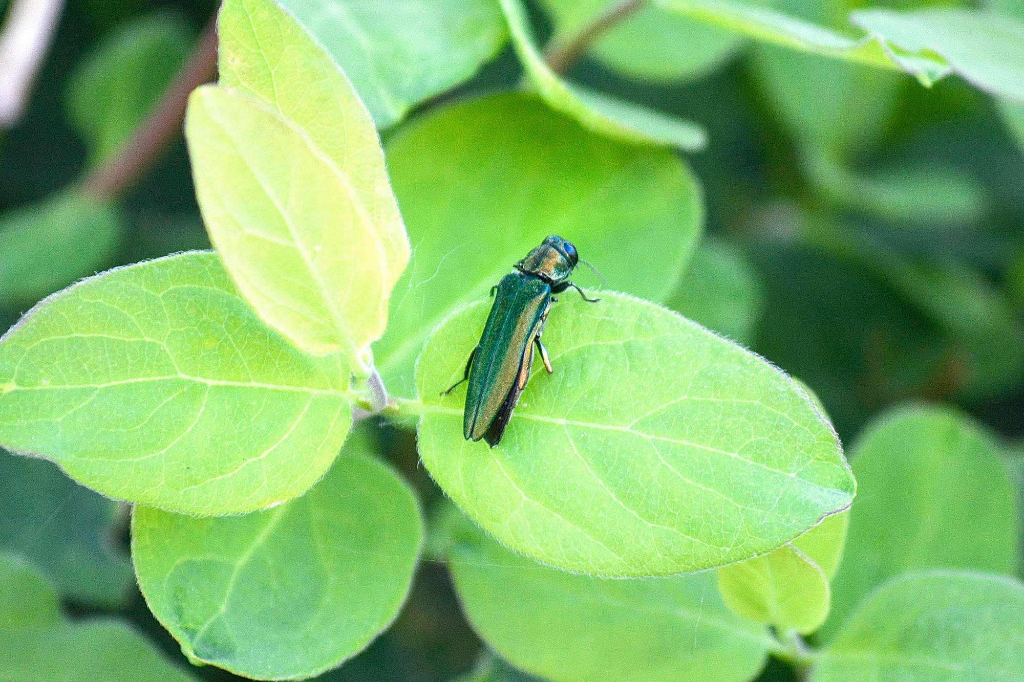 The emerald ash borer may not look fearsome, but the invasive species has no natural predators in the U.S. and is wreaking devastation on the nation's ash trees.