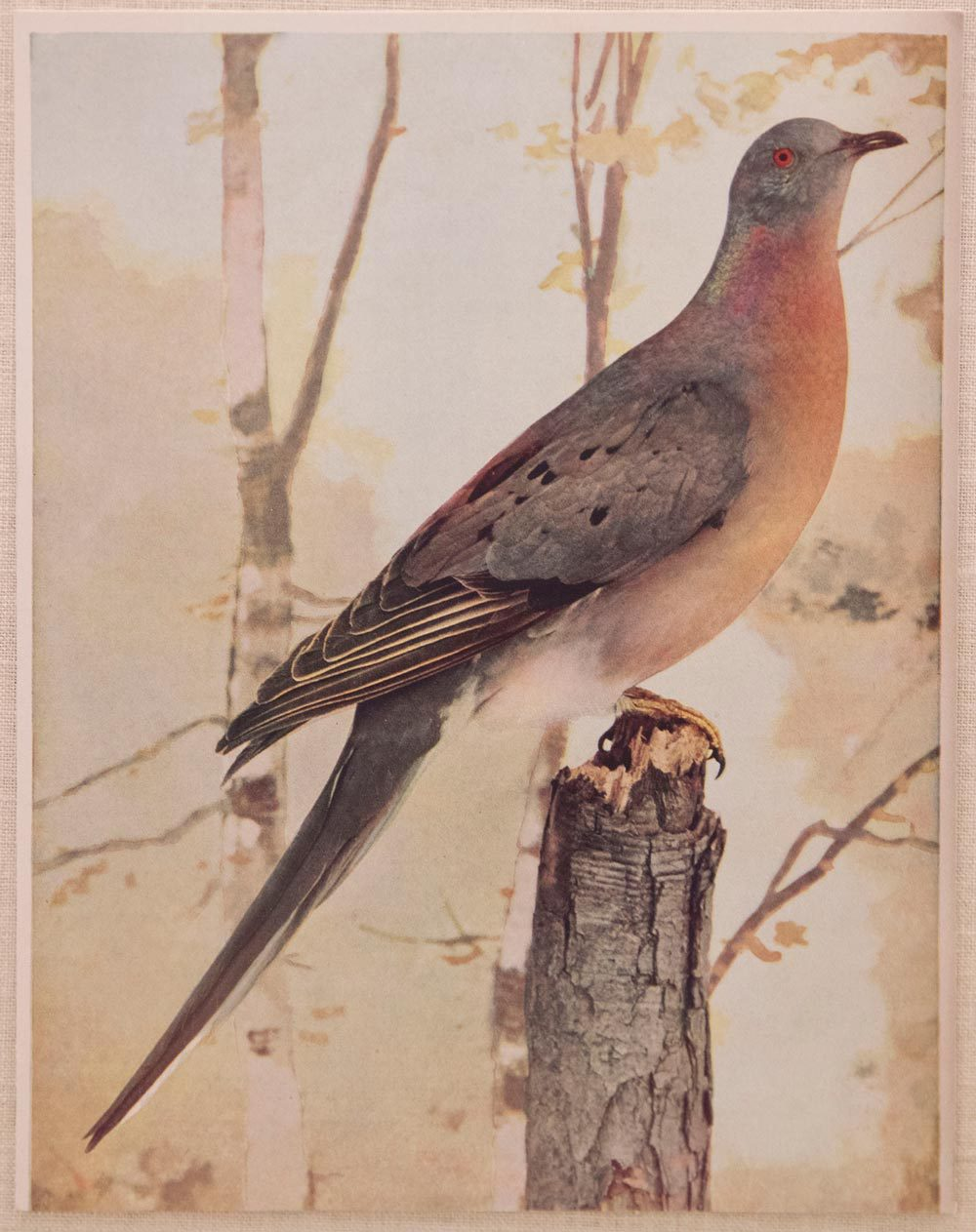 Passenger pigeons were once the most numerous bird in North America, said to darken the sky and create thunderous noise when they migrated in flocks of millions.