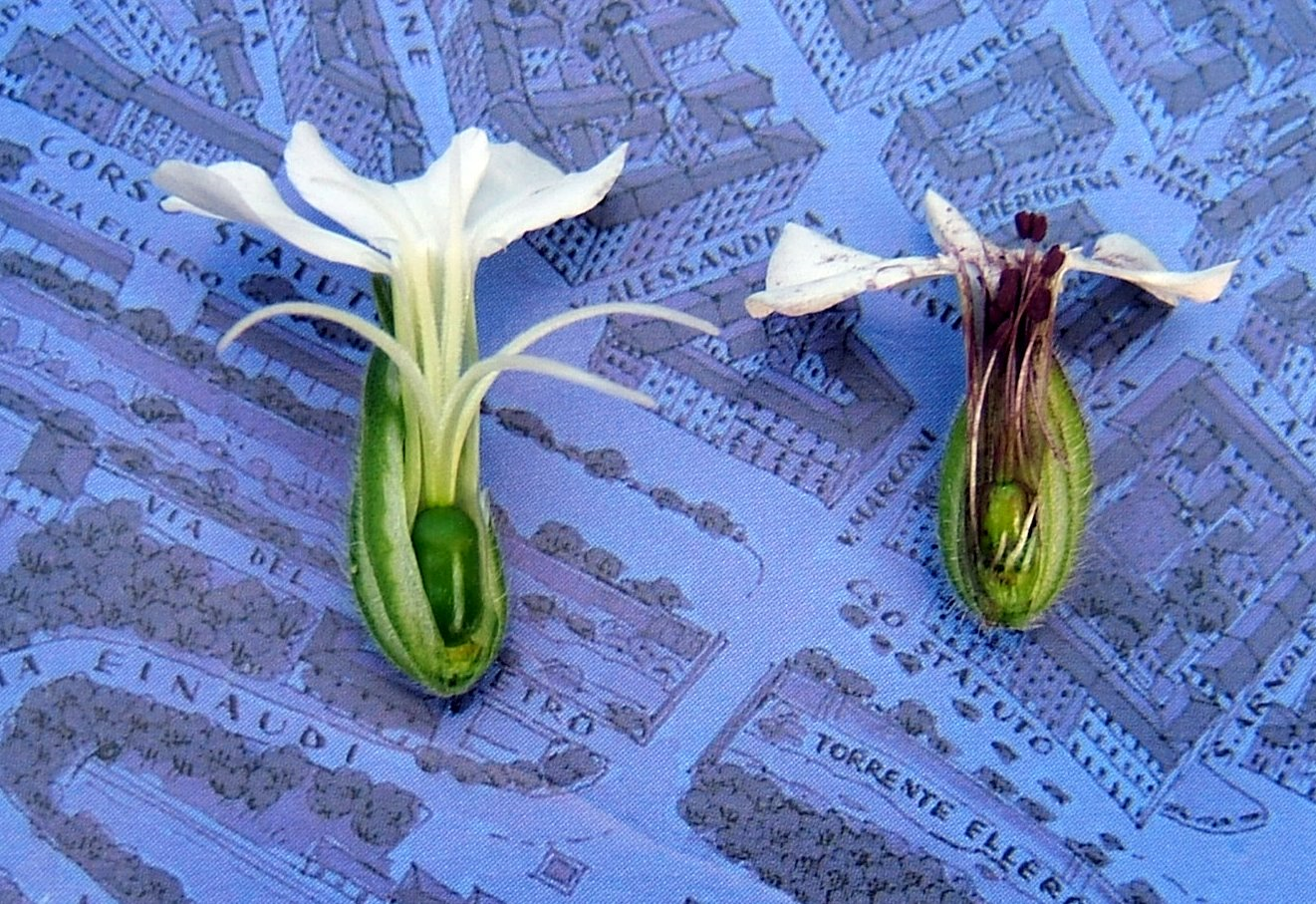 A healthy flower, left, and a smut-infected flower, right.