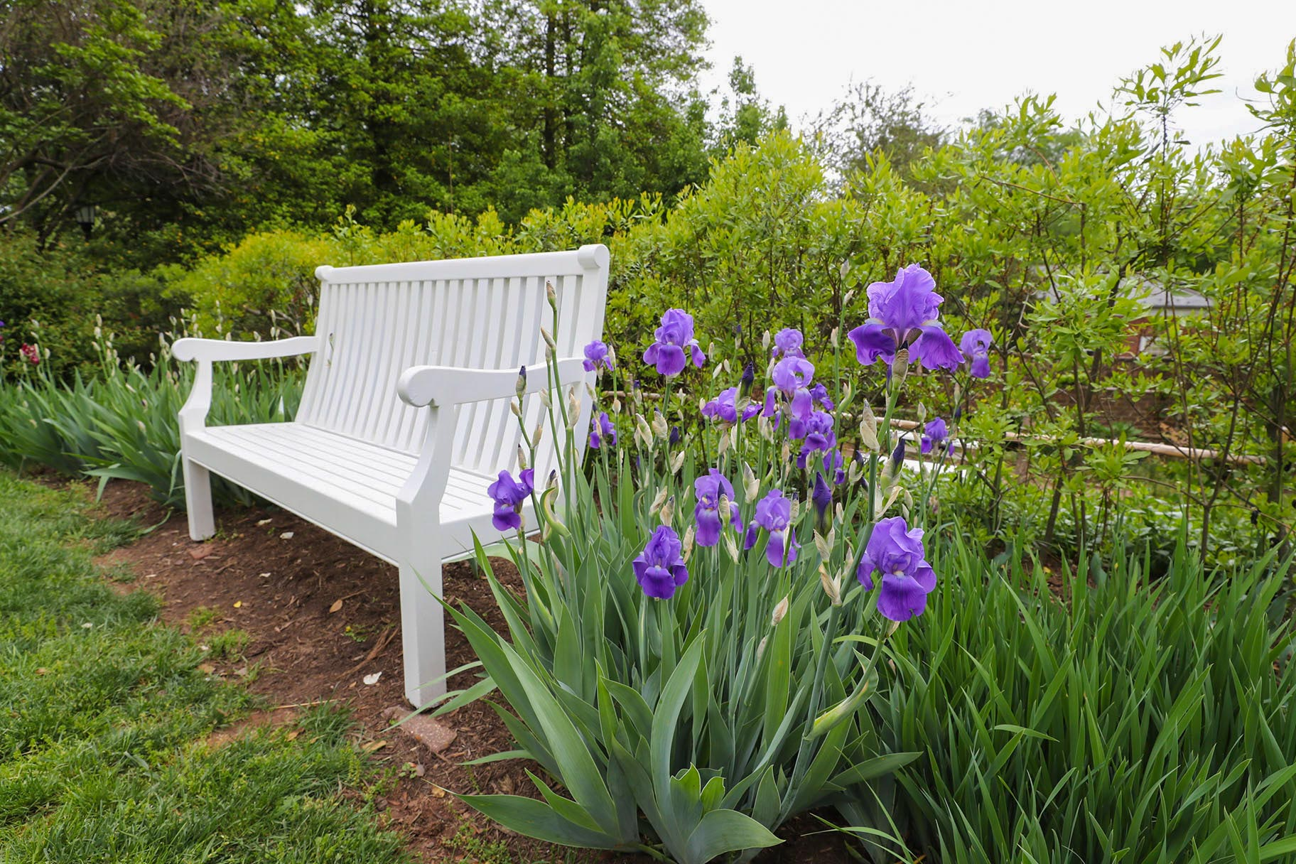 Spring on Grounds is full of color, with flowers like these bearded irises in the Pavilion II garden, blooming continuously all season.