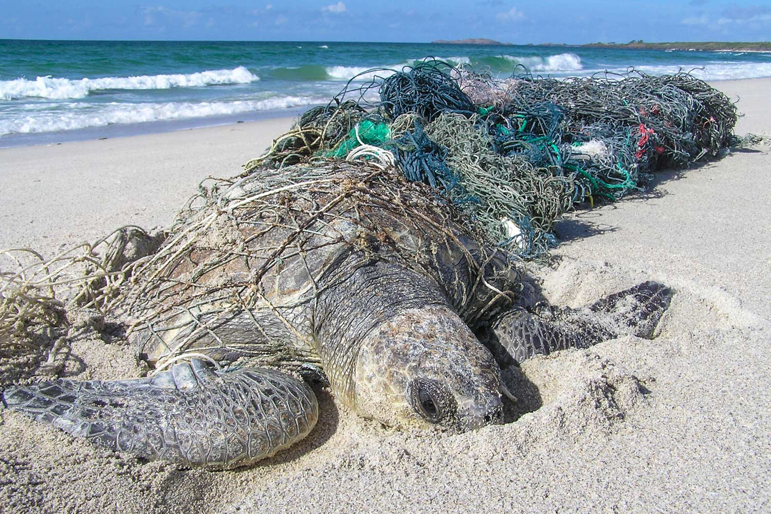 A sea turtle lies ensnared in abandoned fishing nets. (Photo by Jane Dermer/Courtesy Ghost Nets Australia)