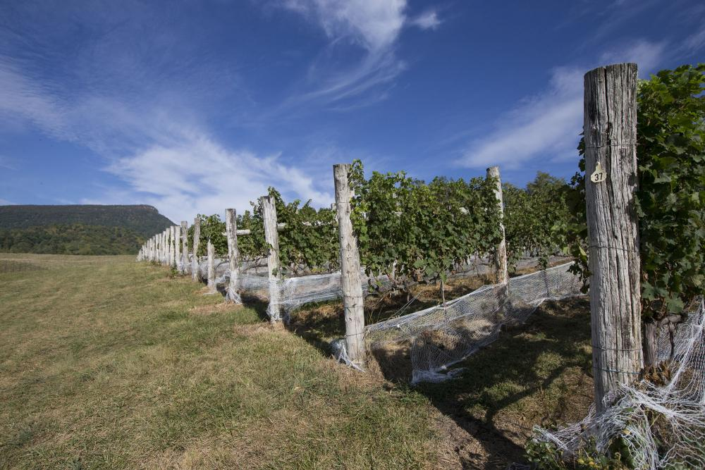 Rows of vines with Jump Mountain in the background
