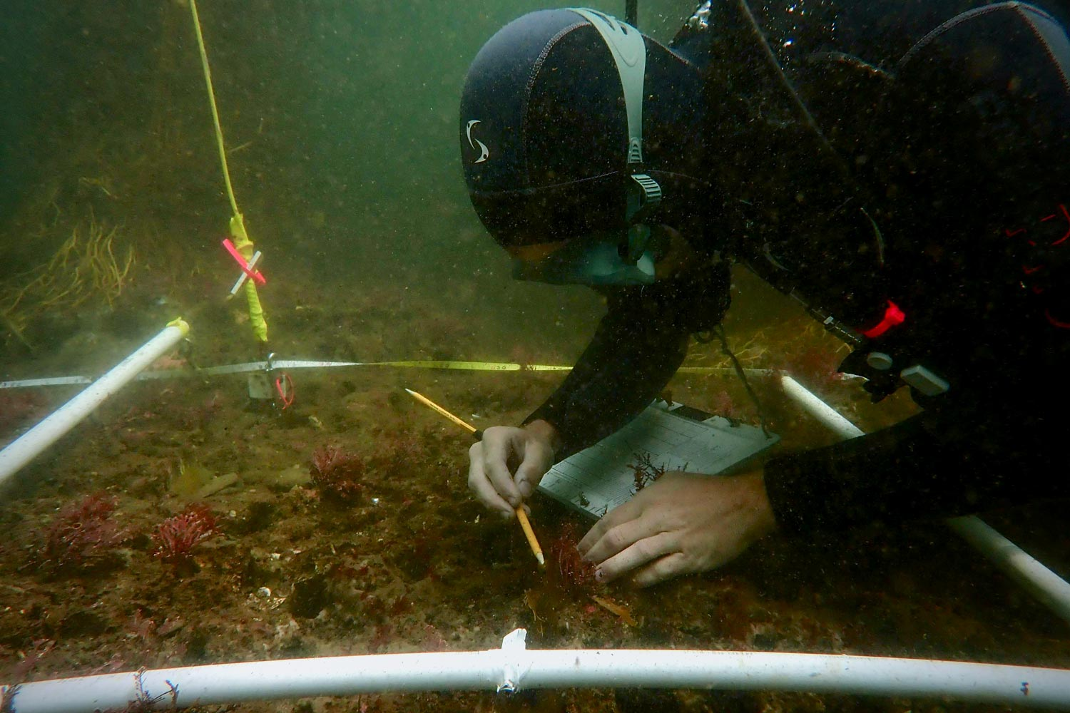 A diver identifies and measures seaweed on the ocean floor during the experiment.