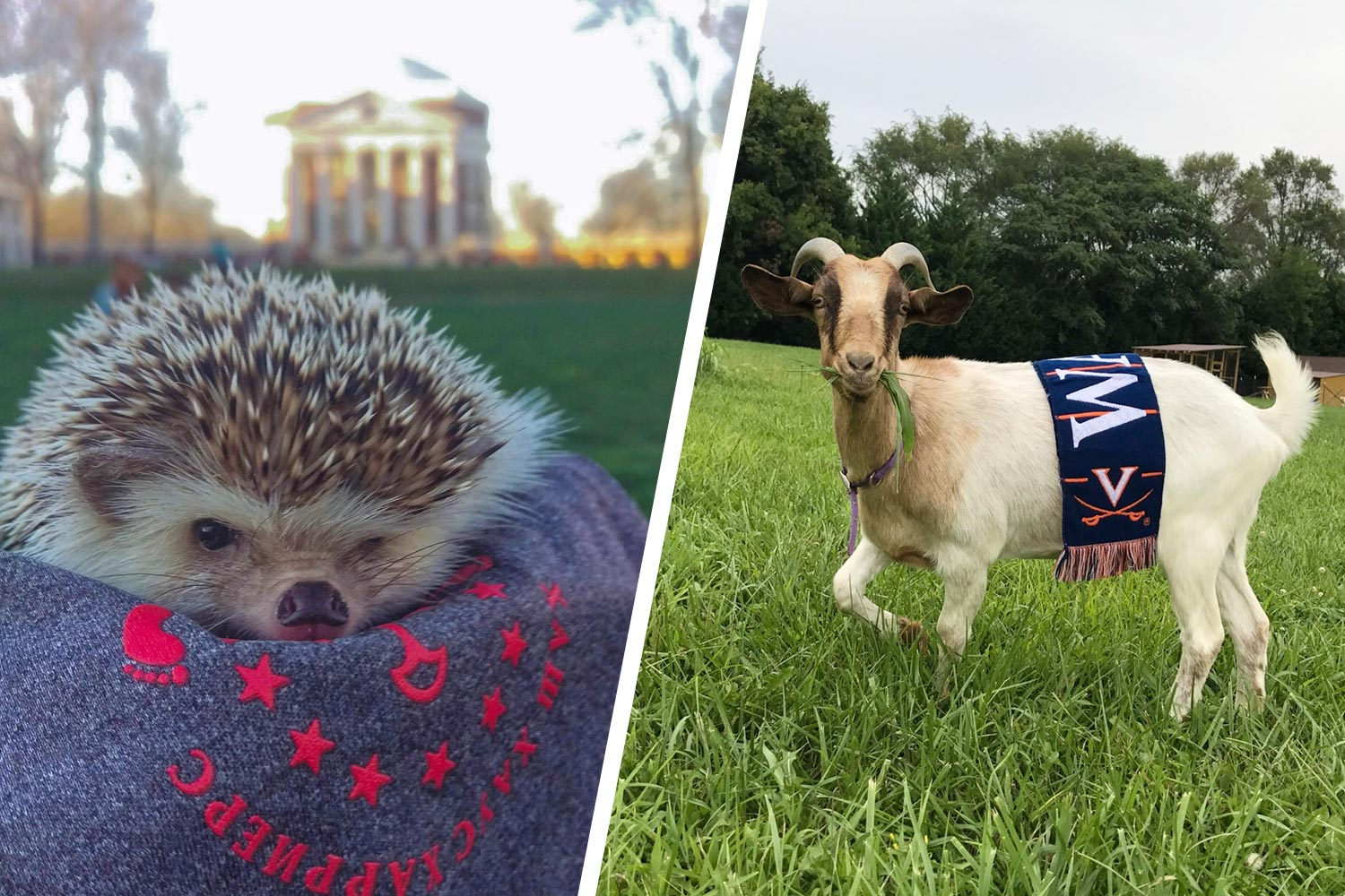 Opal the goat and Bill the hedgehog pose for photos.