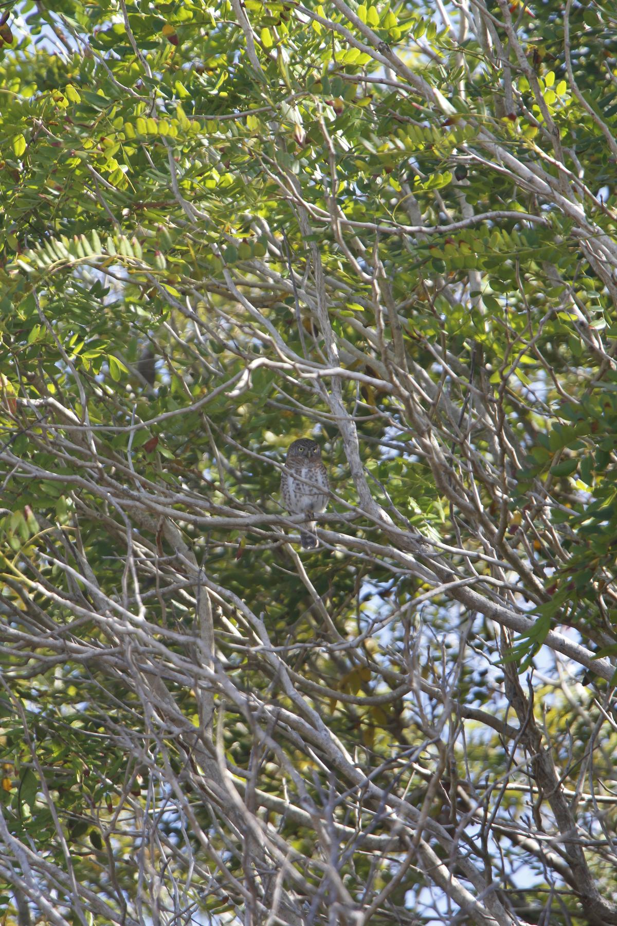 Students spotted a Cuban pygmy owl. (Photo courtesy of Mark White)