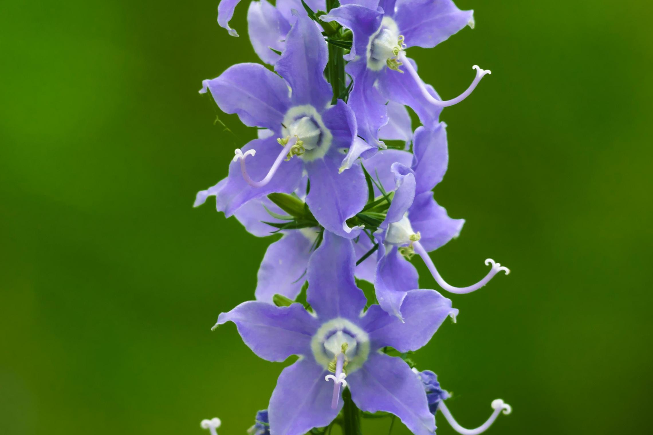 The American bellflower is native to Virginia.