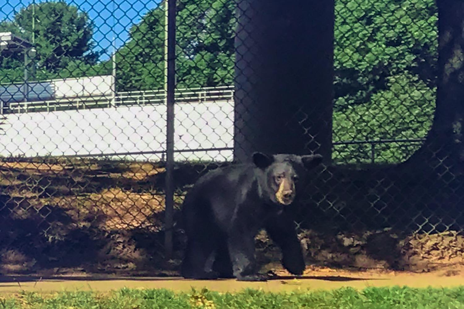 "Dubbed ""UVA Bear"" by a passer-by who snapped this photo Wednesday morning, this black bear may be the same one captured later in the day near the UVA Children's Hospital. (Photo by Jim Baker, School of Continuing and Professional Studies)"