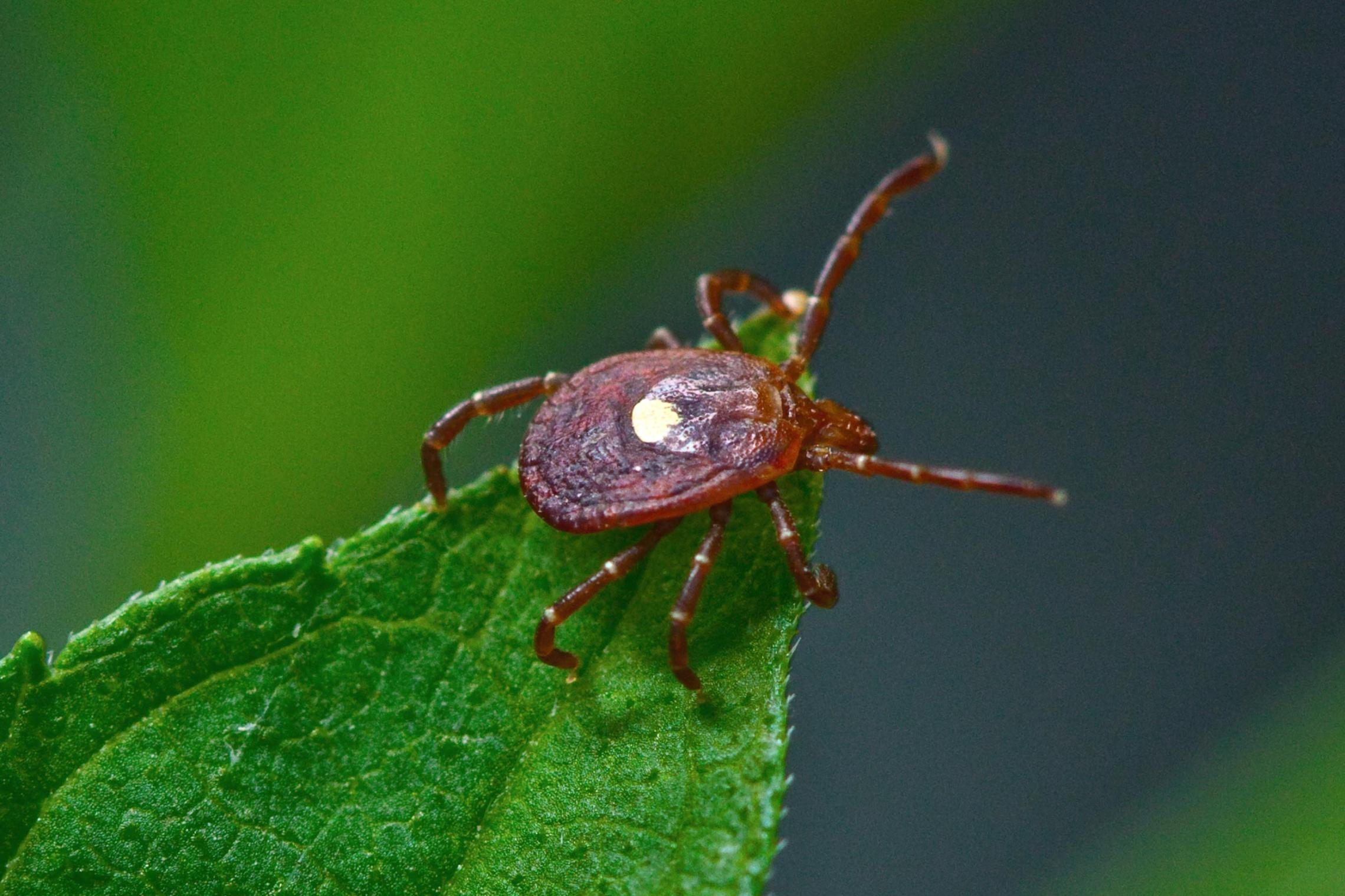 The bite of the lone star tick can cause a sudden and severe allergy to mammalian meat. UVA scientists are beginning to understand why.