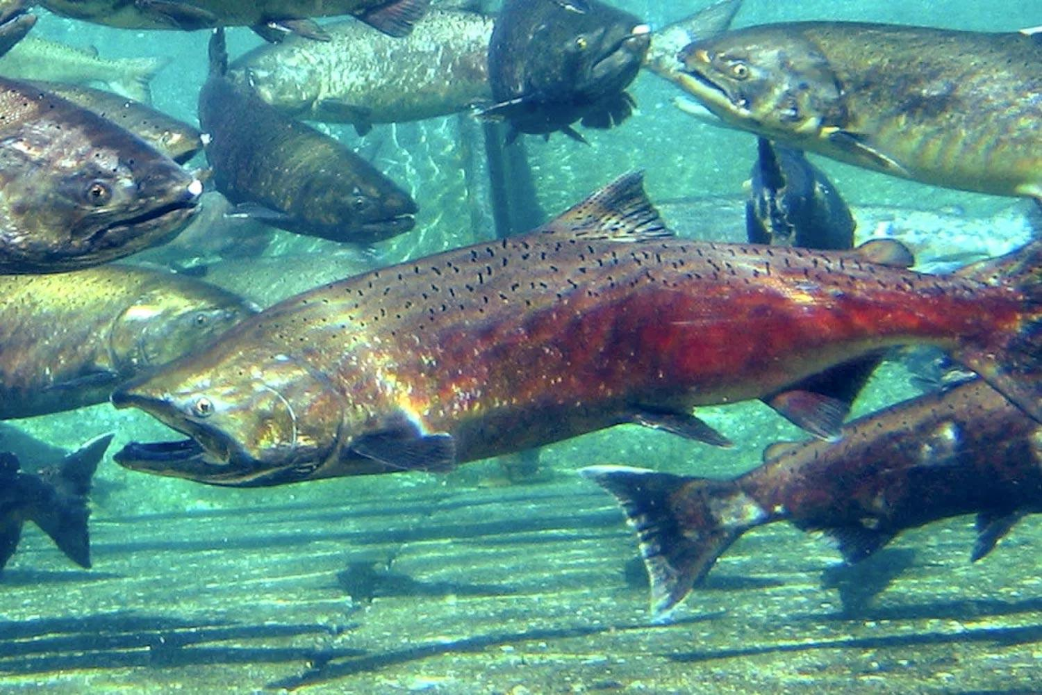 Adult Chinook salmon.