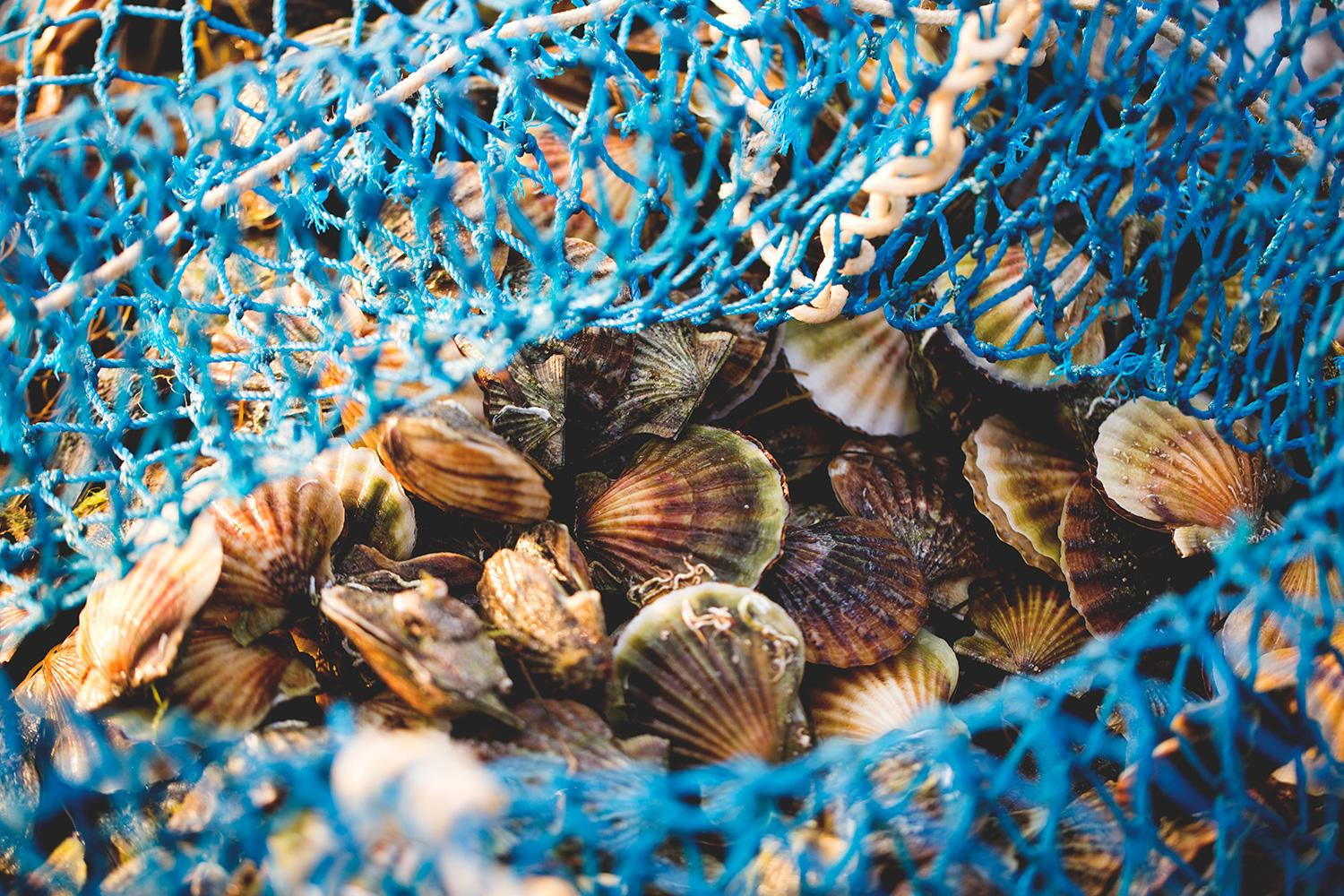 Increasing acidity in sea water can prevent larvae of scallops and other bivalves from forming the calcium carbonate shells required for their development to maturity.