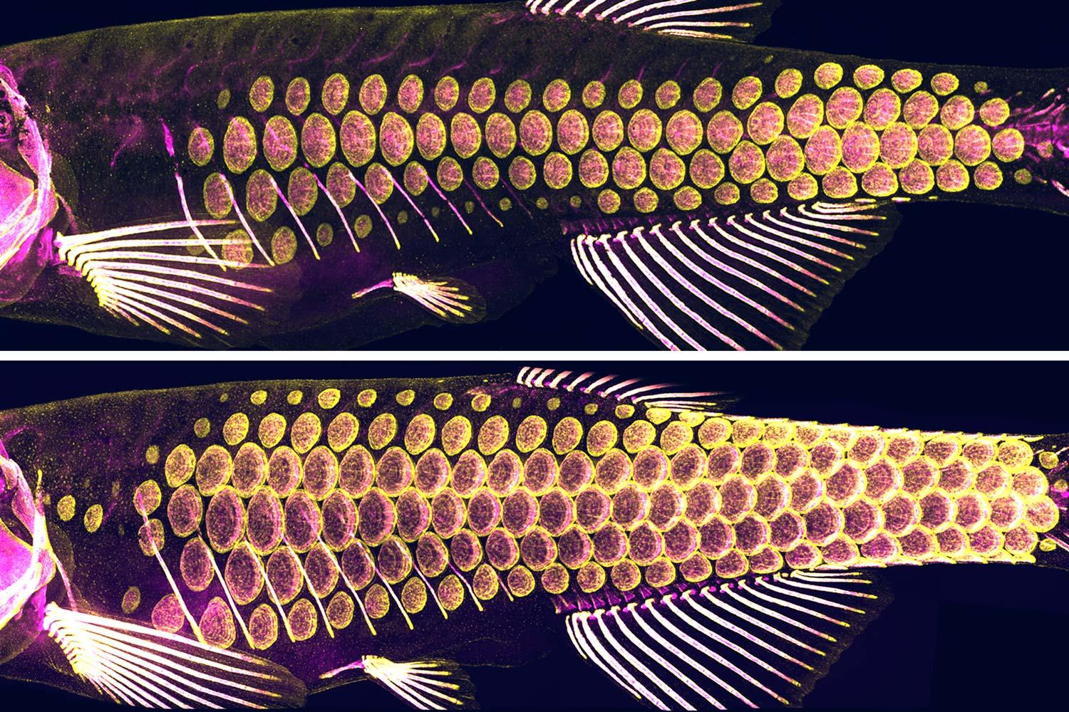 In these images of zebrafish scales, yellow marks the cells that produce bony material. Magenta marks the bony material.