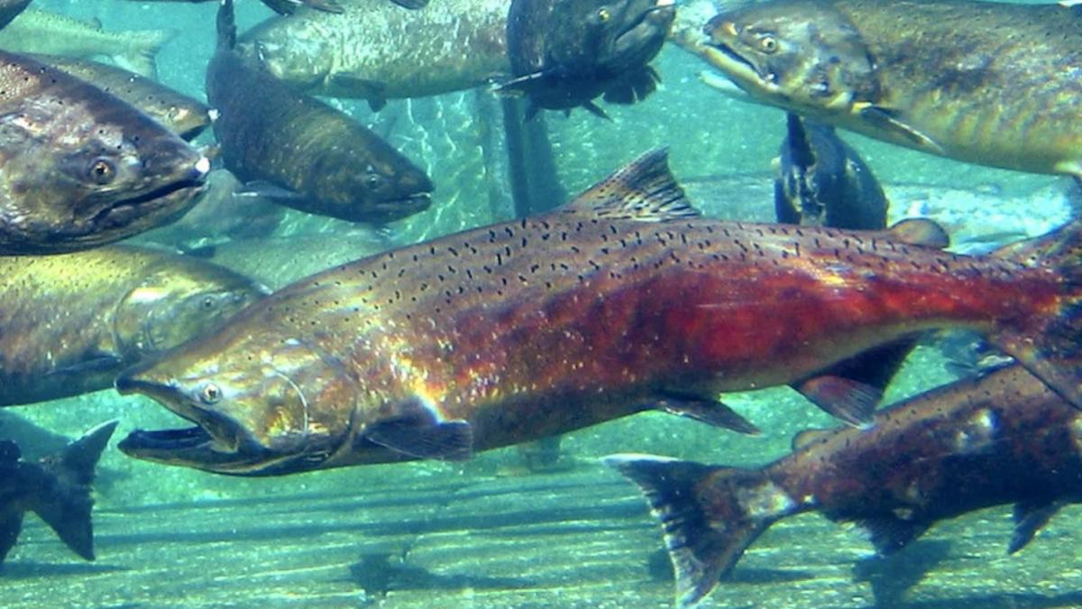 salmon_migration_pnnl_header_3-2.jpg