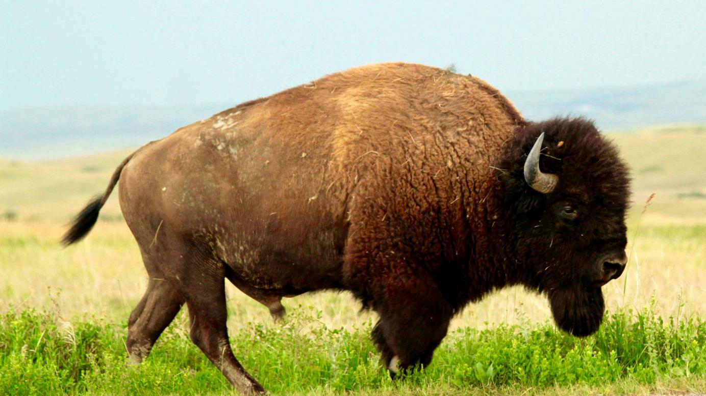 the plains bison hunt essay An estimated two million bison were killed this year on the southern plains   over 10,000 bison were taken during one hunt of a few days length in dakota.