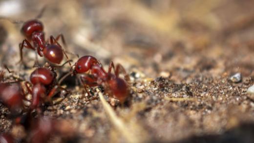 invasive_fire_ants_header.jpg