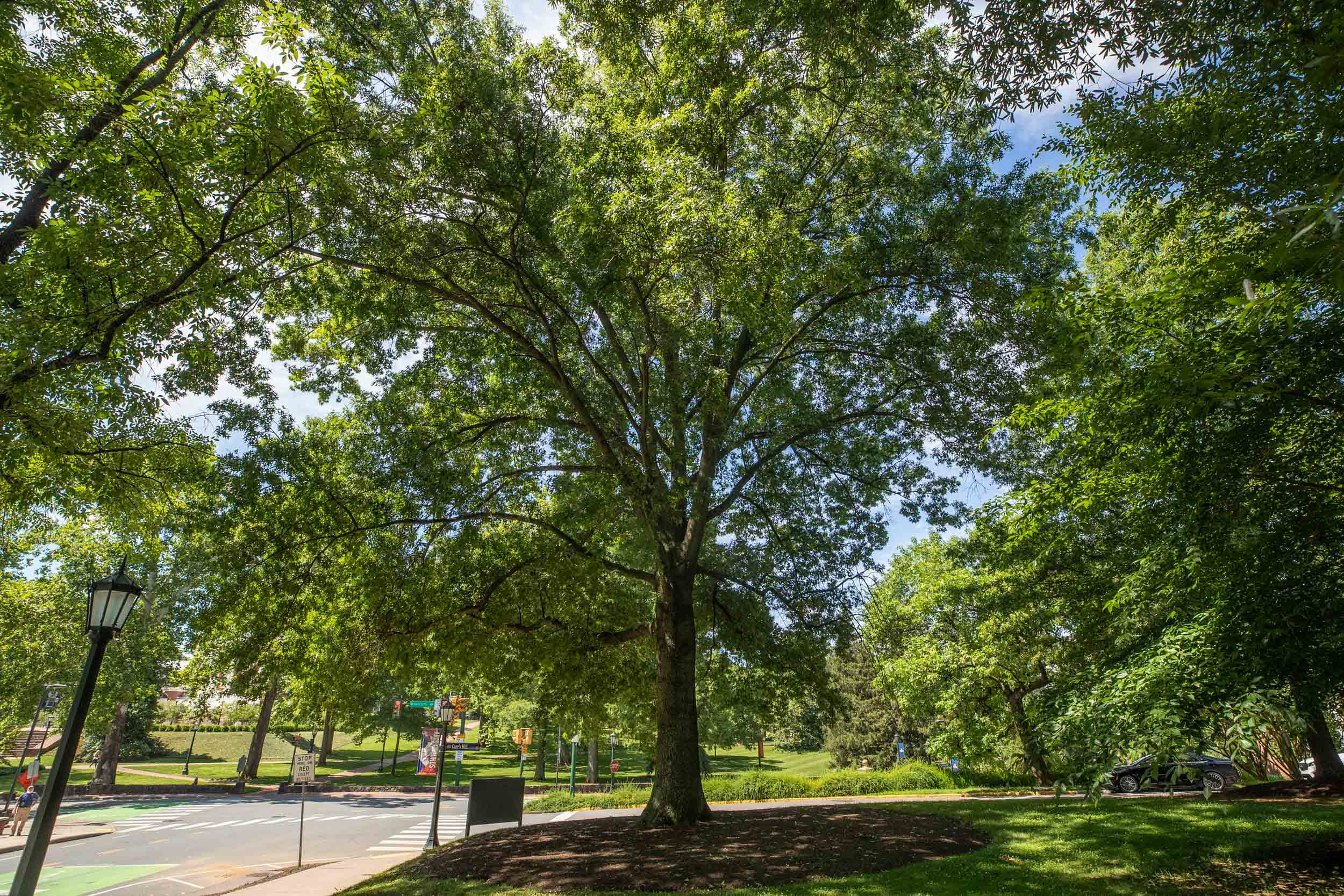 Alderman Oak/ Pin Oak